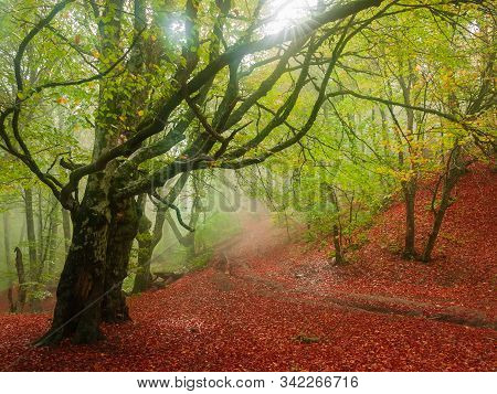 Footpath Covered With Fallen Leaves On Hillside Among The Beech Forest In Early Autumn In Fog