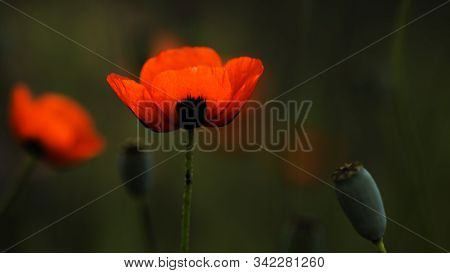 Textured, Close-up Poppy Freshness..a Living Embodiment Of The Fantasy Of Nature.natural And Beautif