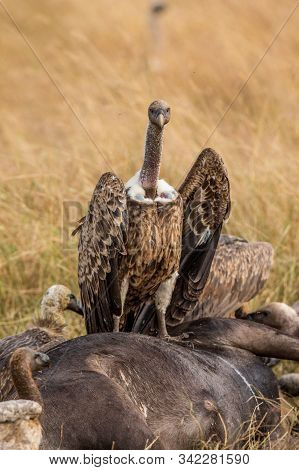 Griffon Vulture (gyps Fulvus) Eating Carrion, Bones And Meat