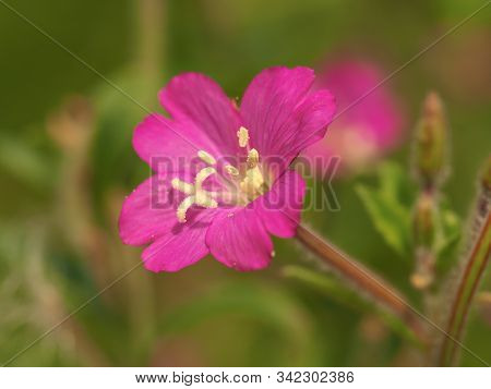 Pretty Pink Flower Of Great Willowherb, Epilobium Hirsutum, With The Stamens And Stigma Clearly Visi
