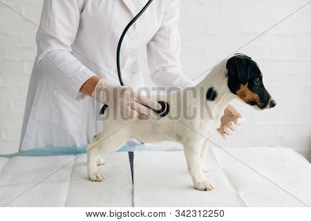 Vet. Shot Of A Young Veterinarian Doctor Using Stethoscope Listening To The Heartbeat Of A Jack Russ