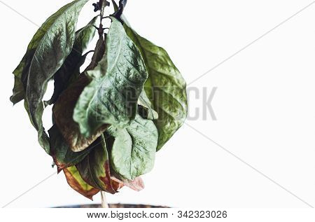 Dead Dry Coffee Plant With Pot On A Table. Isolated On White Background. Dust Particles On Plant