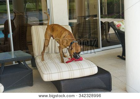 Big Boxer Dog Plays With A Chew Toy