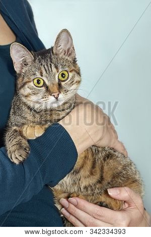 Funny Short Hair Cat With Bright Yellow Eyes On The Human Hands, Looking Right To The Camera. Tabby