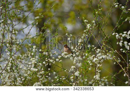 Eurasian Bullfinch During Early Spring With Blooming Damsons In Estonia