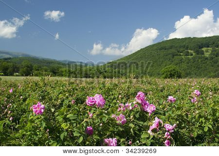 Rose Fields