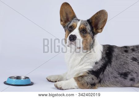 Cute Corgi Dog Of Unusual Merle Color (black, White, Ginger And Grey Spots) Lies In Front Of The Emp