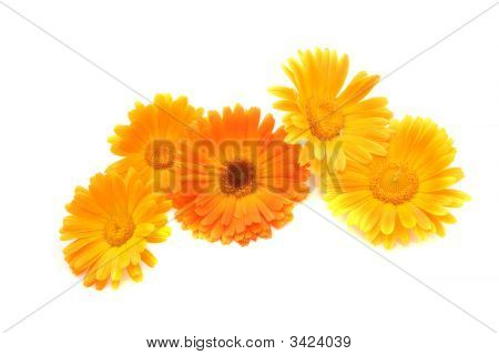 Flowers Of A Calendula