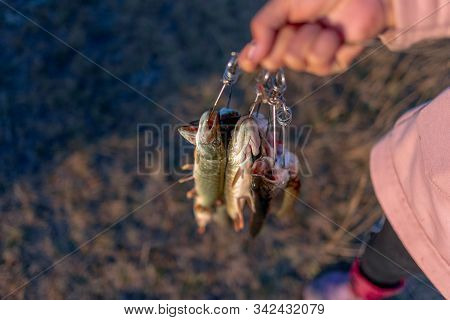 The Girl By The Hand Of The Angler Holding A Lot Of Fish Pike Hanging Fish Stringer Face.