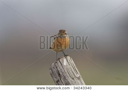European Stonechat wth nest material having a rest poster