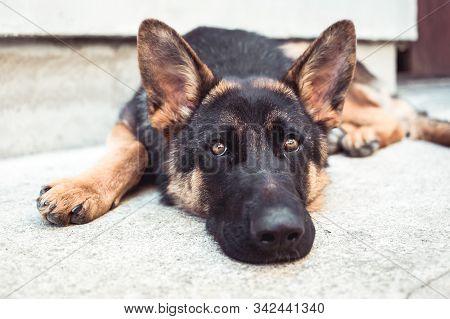 Close-up Photo Of Depressed German Shepherd Dog In Animal Shelter. Dog Health, Animals Protection