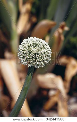 Close Up On Allium Pskemense - Rare Specie Of Wild Onion