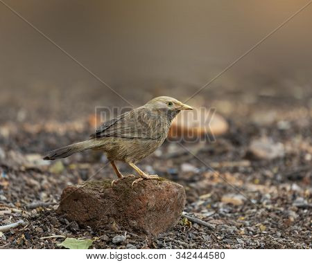 The Jungle Babbler Sitting On A Brick.the Jungle Babbler (argya Striata) Is A Member Of The Family L