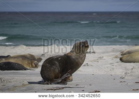 Male Southern Sea Lion (otaria Flavescens) Among A Group Of Southern Elephant Seal (mirounga Leonina