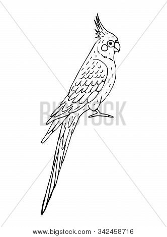 Vector Hand Drawn Doodle Sketch Corella Cockatiel Parrot Isolated On White Background