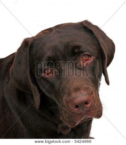 Adorable Labrador Puppy