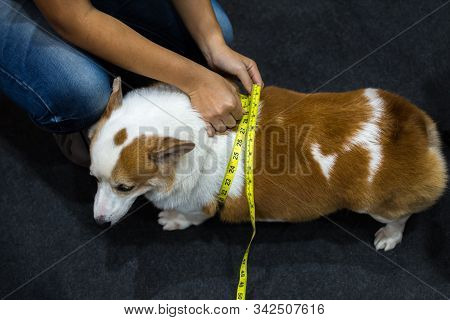 Dog So Cute Pembroke Welsh Corgi Breed Fat Body Overweight From Obesity And Fatness Check Waist Scal