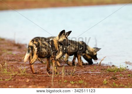 The African wild dog (Lycaon pictus), also known as the African hunting or painted dog, painted hunting dog or painted wolf. Puppy dogs near the water. Wild dog with the pack drink at the lake. poster