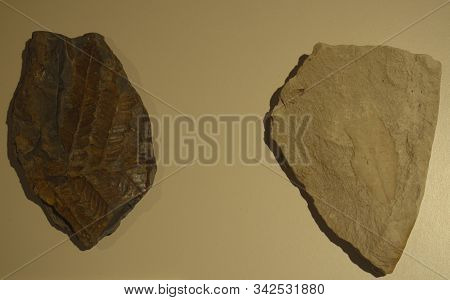 Leaf Fossil. Prehistoric Fossil Leaf Enclosed In Stone Rock