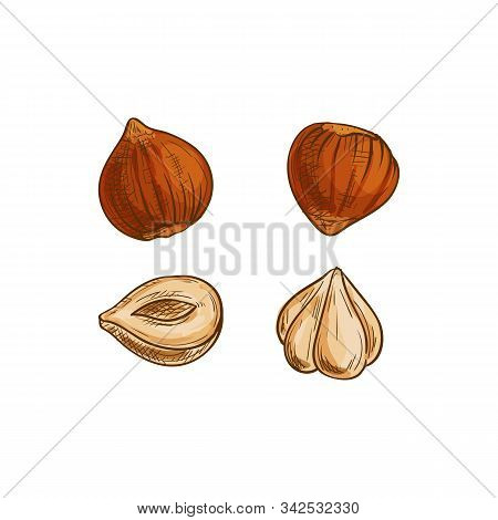 Nut Of Hazel Tree, Cobnut Or Hazelnut Isolated Sketch. Vector Peeled Filbert Nuts