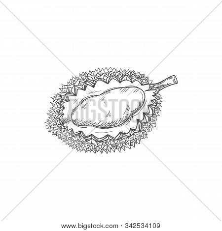 Durian Tropical Fruit Isolated Sketch. Vector Exotic Dessert, Tasty Pulp With Yellow Flesh