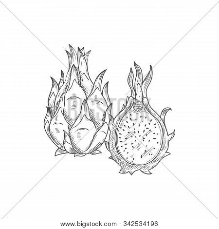 Pitaya Dragonfruit Isolated Food Sketch. Vector Pithaya, Exotic Tropical Dessert, Dragon Fruit