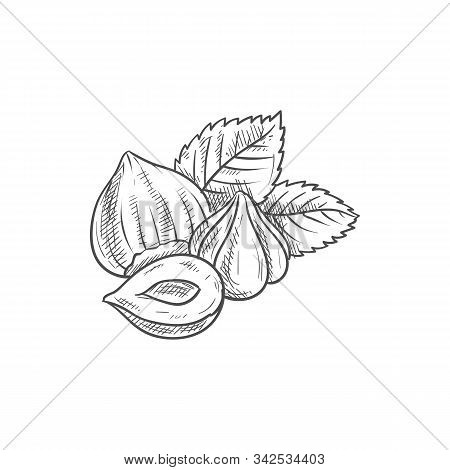 Forest Nut With Leaves Isolated Hazelnuts Sketch. Vector Filbert Cobnut With Green Leaf, Natural Foo
