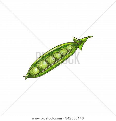 Peas Seeds In Green Pods Isolated Legumes Sketch. Vector Beans And Grains, Vegetarian Food