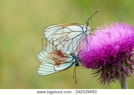 Hawthorn Butterfly. Hawthorn Butterflies On The Thistle Flower. Close-up. A Couple In Love