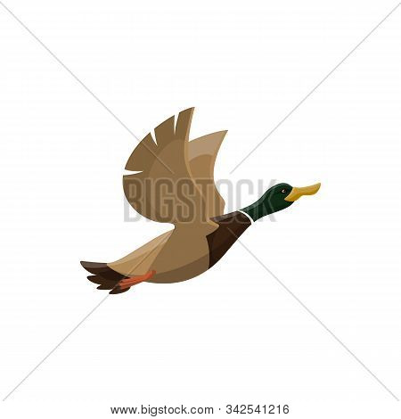 Duck Wild Bird Vector Isolated Icon. Hunt Fowl Mallard Or Zoo Flying Duck Bird