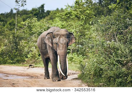 Majestic Elephant With Long Tusks Walking On Dirt Road. Wildlife Animal In Sri Lanka.