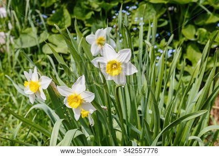 Narcissus Flowers, White Narcissus, Narcissus Poeticus, Narcissus Blooming In Spring