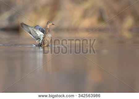 Mallard Female Hen Flapping Wings On Calm Pond.