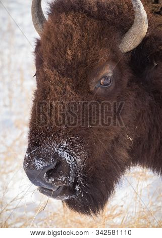Genetically Pure Wild Bison In Colorado. Bison In Morning Light On A Cold Winter Day