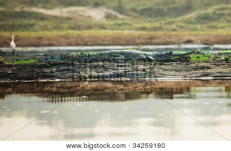 crocodile in Chitwan National Park,Nepal