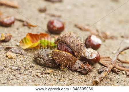 Chestnuts Fallen From The Tree Out Of The Capsule
