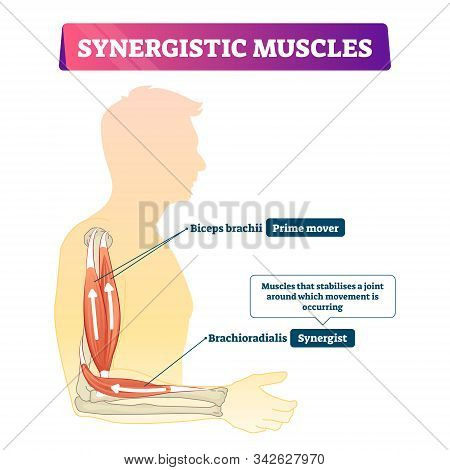 Synergistic Muscles Vector Illustration. Labeled Arm Action Support Scheme. Human Body Medical Organ