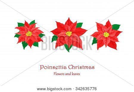 Red Christmas Poinsettia. Set With Poinsettia Flowers A Festive Plant With Red Leaves And Green Bran