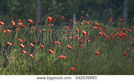 A Beautiful Small Bud Of Red Poppy Flower Sways In The Wind.huge Field Of Blossoming Poppies. Poppy