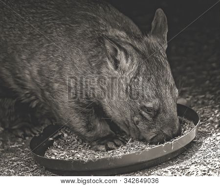 Close Up Of An Australian Wombat Eating, Image Rendered In Monotone To Draw Attention To His Face