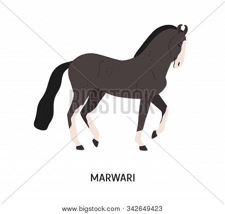 Marwari Breed Horse Flat Vector Illustration. Indian Equine, Beautiful Hardy Hoss. Horse Breeding, E