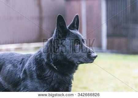 Portrait Of A Beautiful German Shepherd Or Alsatian Dog.