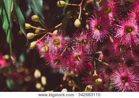 Bright Pink Gum Tree Flowers With Bees Shot At Shallow Depth Of Field