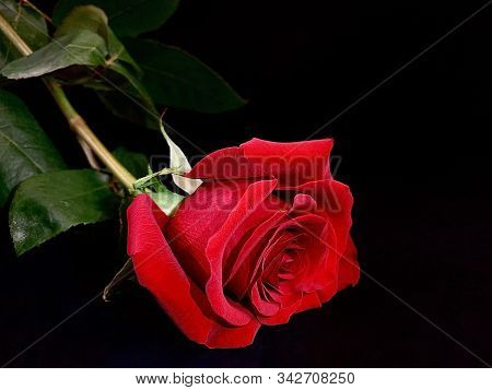 Beautiful Red Rose On A Black Background. One Lying Rose With A Bright Bud. Concept: Love, Lonelines