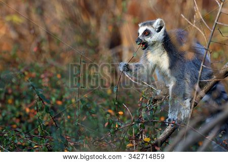 The Ring-tailed Lemur (lemur Catta) Sits In A Thicket And Eats Leaves.portrait Of A Glowing Lemur Wi