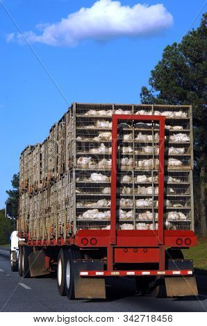 Eighteen Wheeler Hauls Its Latest Catch, A Batch Of Chickens From A Chicken Farm.  You Can See The C
