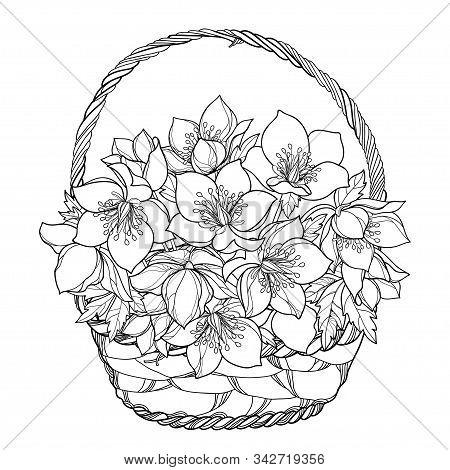 Vector Bouquet Of Outline Hellebore Or Helleborus Or Winter Rose, Bud And Leaf In Wicker Basket In B