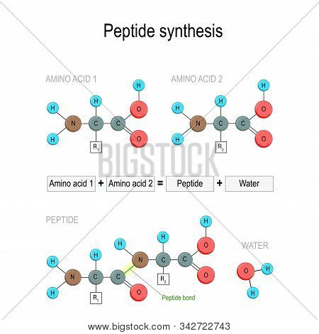 Peptide Synthesis. Two Amino Acids Combined Into A Peptide To Form A Water Molecule And A Peptide Bo