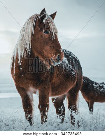 Icelandic Horses Are Very Unique Creatures For The Iceland. These Horses Are More Likely Ponies But