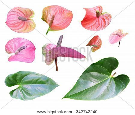Set Of Flowers And Leaves Of Anthurium, Houseplant Anthurium, Clipart Isolated On A White Background